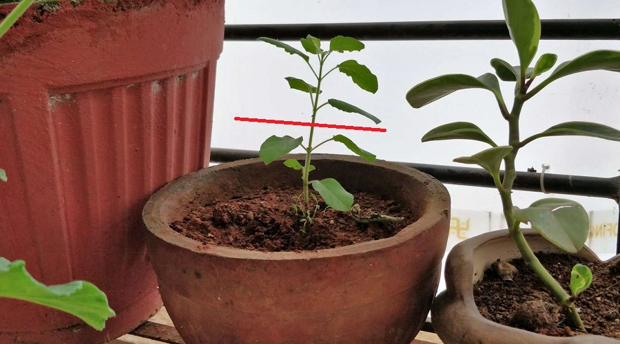 fertilizer issue causes drooping plants