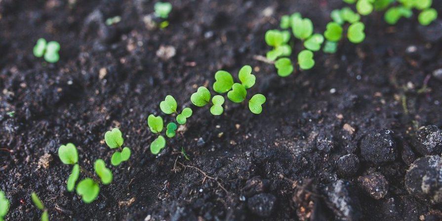 Arugula seedling in soil