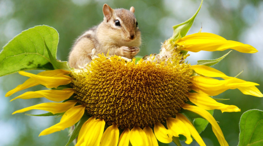 Chipmunk sitting on top of sunflower head, eating seeds