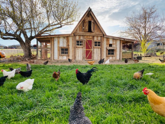 Chicken Coop with various chickens outside