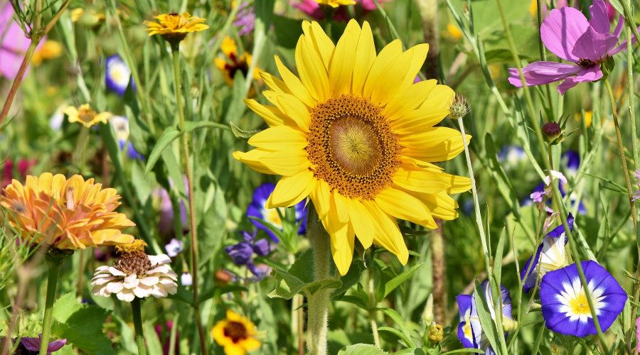 sunflower in a field with many other colorful blooms