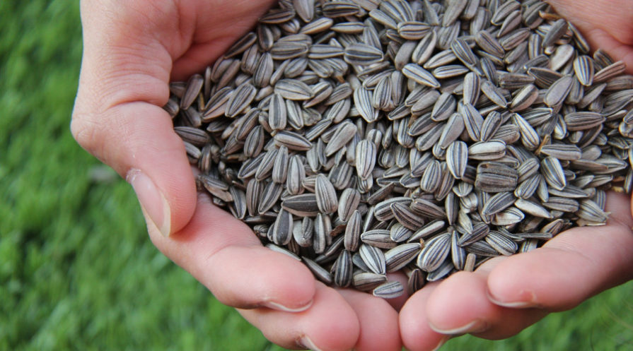 human hands cupped, holding sunflower seeds