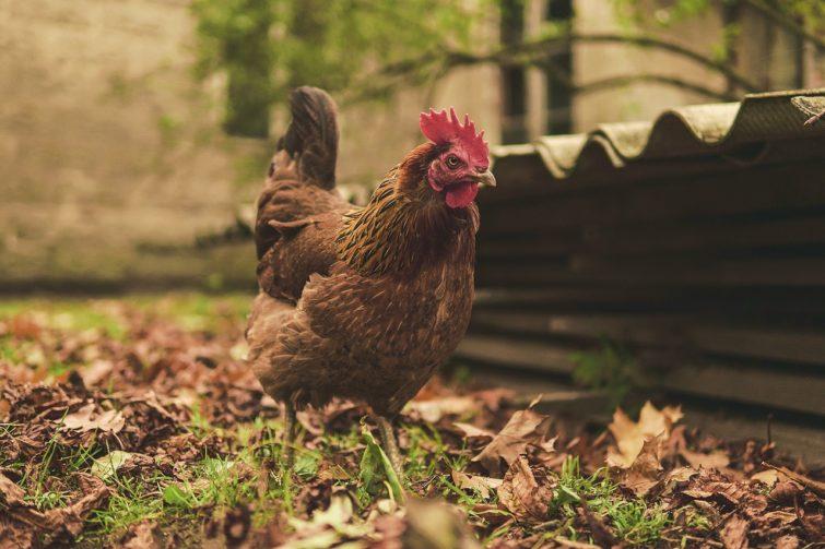 A hen walking outside