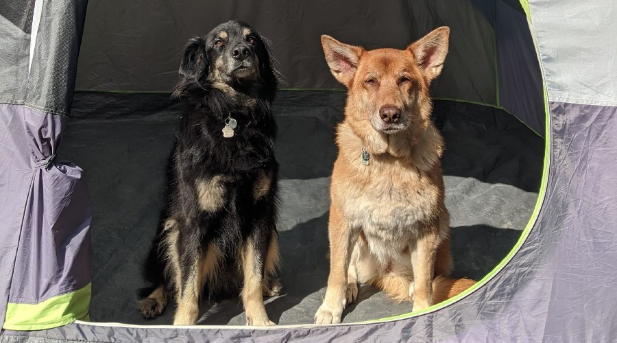 Two dogs sitting inside a camping tent