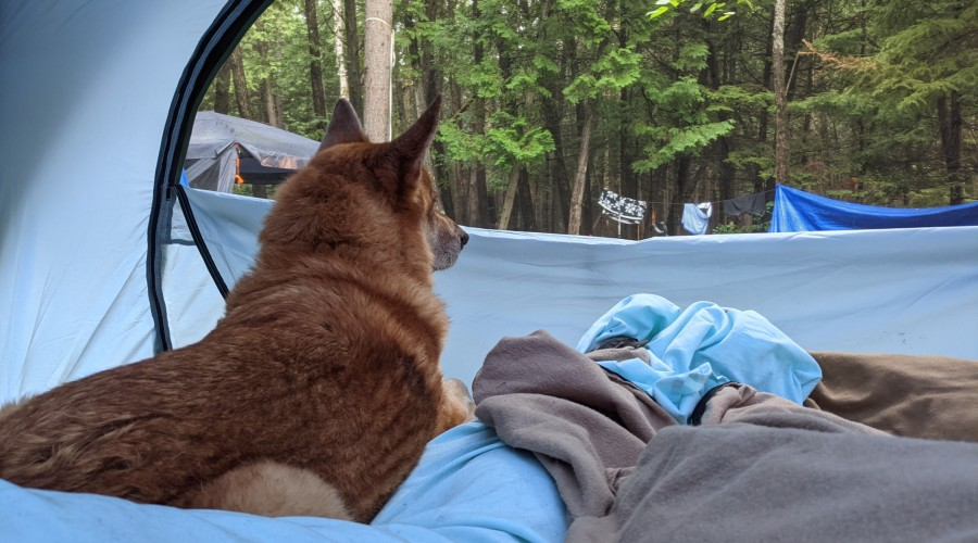 dog laying in tent, looking out window to campsite