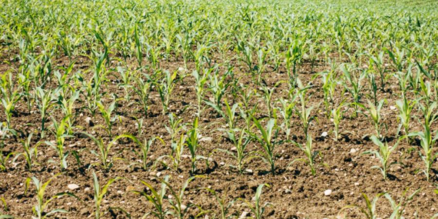 Closeup of Crops