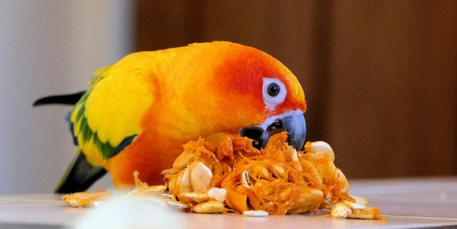 Orange parrot eating pumpkin seeds