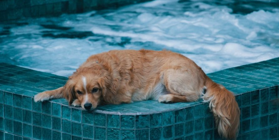 Brown dog lying on the edge of a hot tub