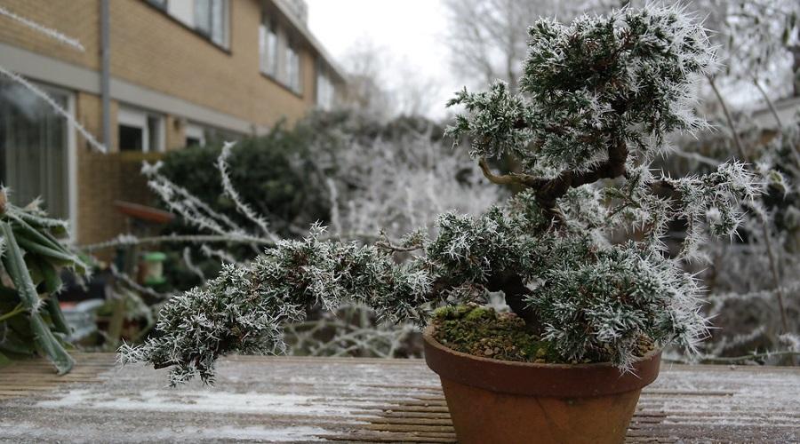 bonsai in the cold snow