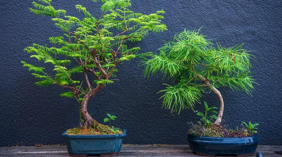 bonsai trees for beginners