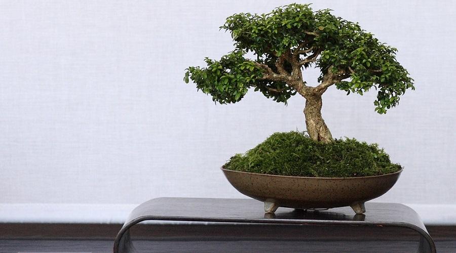 Common Boxwood Bonsai
