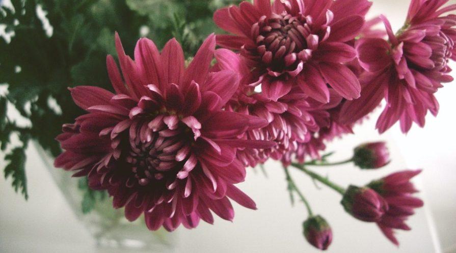 beautiful purple chrysanthemum