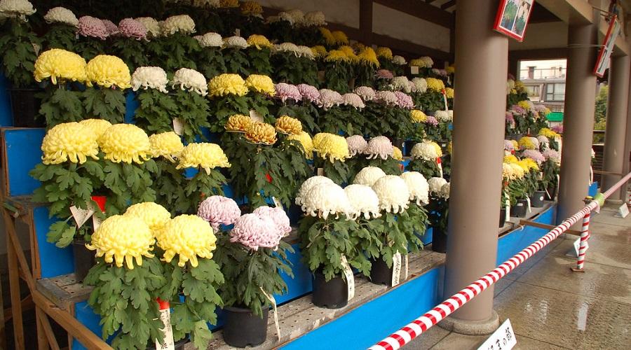 Chrysanthemum 'Allouise'