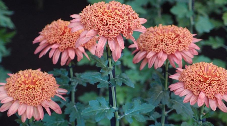 Chrysanthemum 'Mundial Peach'