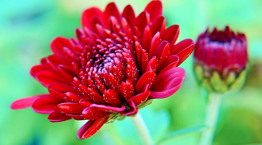 Chrysanthemum 'Okura Red'