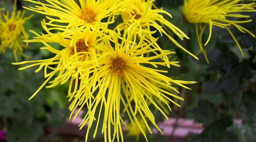 Chrysanthemum 'Pennine Whistle'