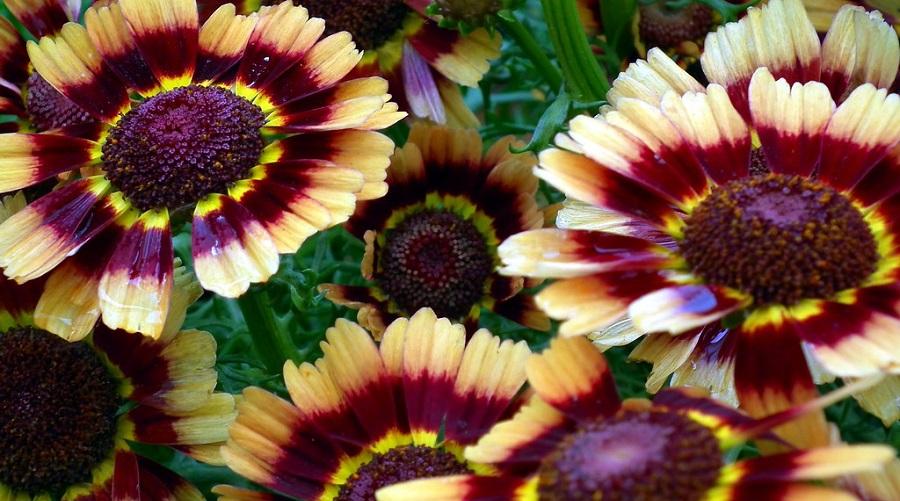 Chrysanthemum Segetum 'Court Jester'