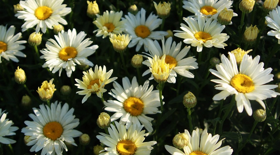 Chrysanthemum Superbum (Shasta Daisy)
