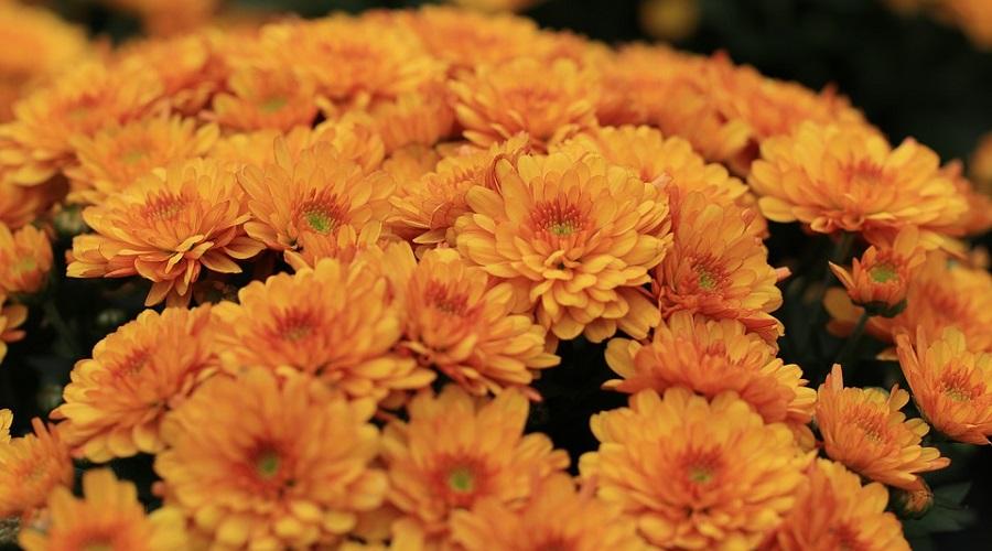 Chrysanthemum 'Apricot Enbee Wedding/ Bronze Enbee Wedding'