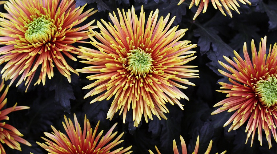 Chrysanthemum 'Baltazar'