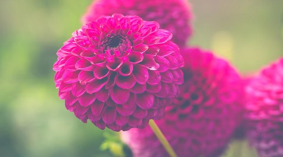 Chrysanthemum 'Barbara'