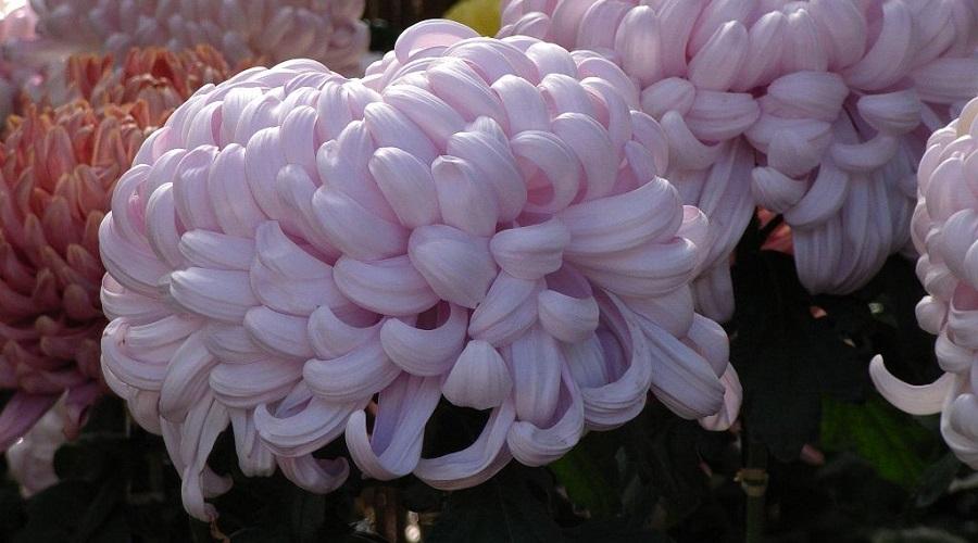 Chrysanthemum 'Boulou Rose'