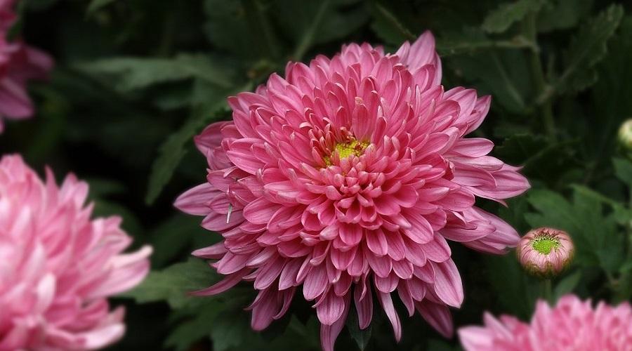 Chrysanthemum 'Gigi Coral'