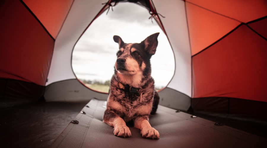 black and gray dog inside red and white tent