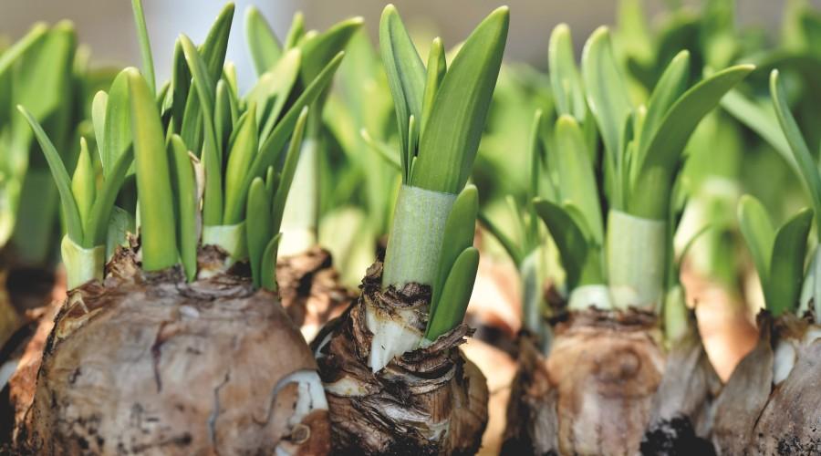 a row of daffodil bulbs