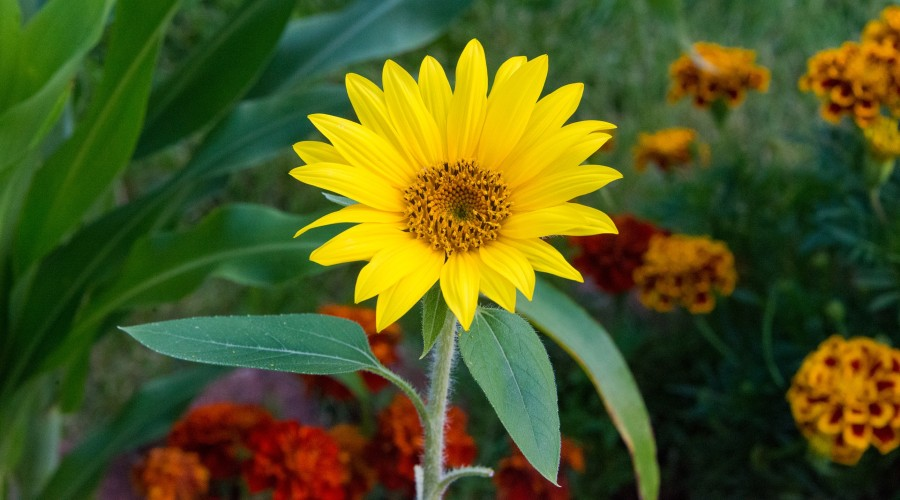 a yellow perennial sunflower surrounded by other flowers