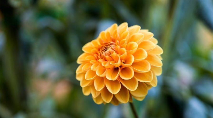 Bright orange-yellow chrysanthemum up close