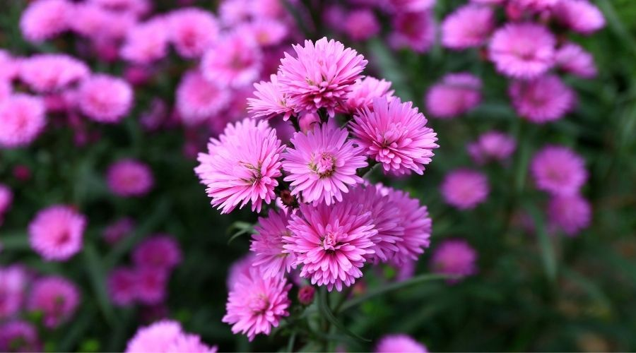 a large collection of pink aster flowers