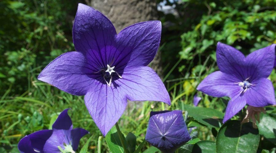 purple balloon flower plants
