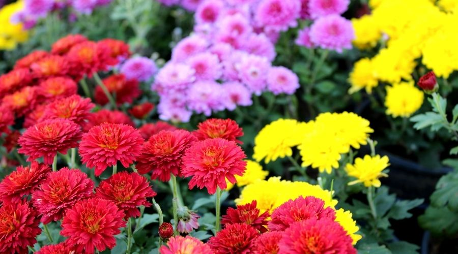 red, yellow and pink Chrysanthemum flowers
