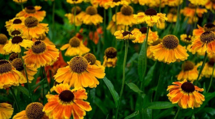 yellow and light orange Helenium flowers