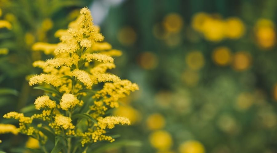 yellow goldenrod flowers in a field