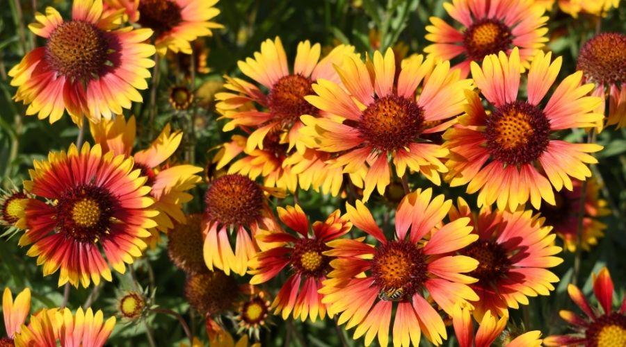 yellow and orange Helenium flowers