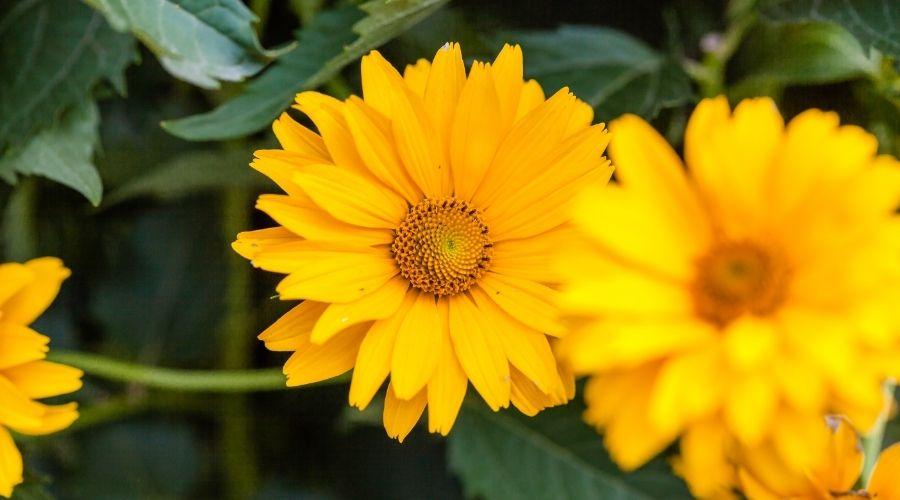 yellow woodland sunflower plants
