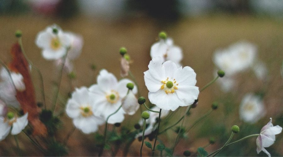 white Japanese Anemone in a field