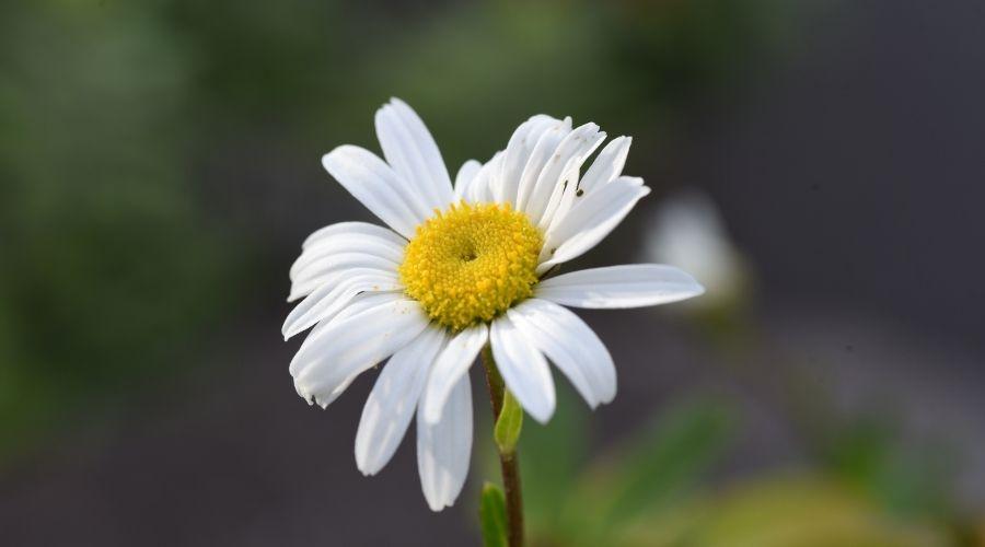 a single nippon daisy