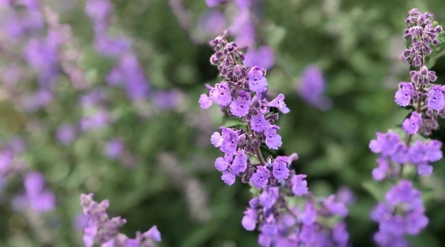 multiple purple Russian Sage flowers