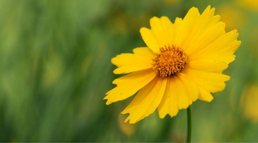 a single yellow tickseed flower