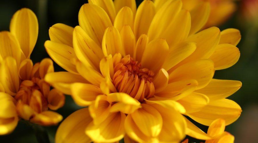Closeup of yellow chrysanthemum