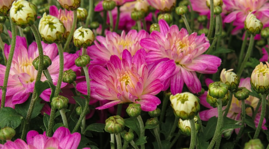 pink chrysanthemums and unopened buds