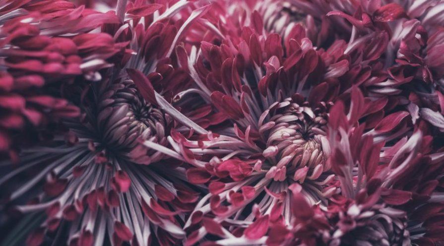 Dark, sipdery chrysanthemums