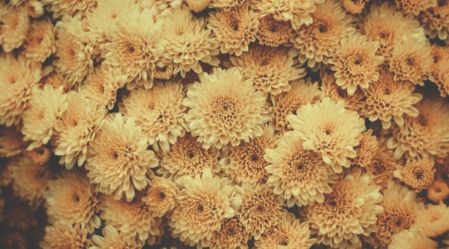 A large collection of yellow-ish orange chrysanthemums tightly bunches togethr