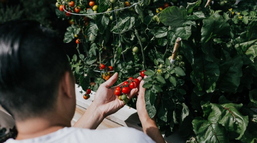man examining tomatoes on a plant