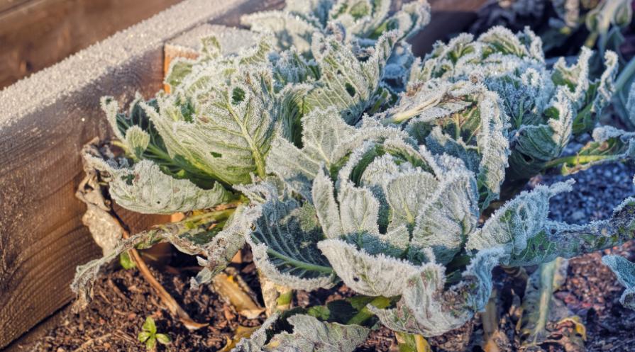 cabbage growing in winter garden